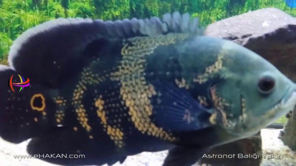 Astronot Balığı Beslemek